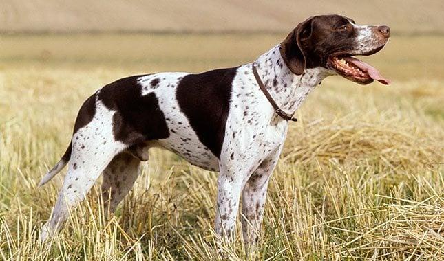 Elegancija lovačkog psa – engleski poenter